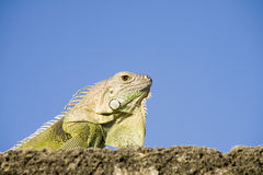 Close up of green Iguana Royalty Free Stock Photography