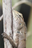 Close up Green iguana resting on a branch Royalty Free Stock Photos