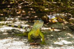 Close up of a green iguana resting over a sand in San Andres beach.  Stock Photography