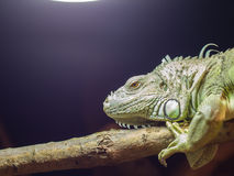 Close-up of a green iguana resting Royalty Free Stock Image