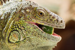 Close-up of a green iguana resting Stock Photography