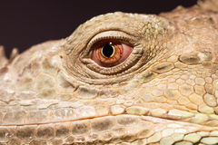 Close-up of a green iguana resting Stock Image