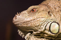Close-up of a green iguana resting Royalty Free Stock Photo