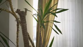 Close up of green indoor plant tree near white wall and window. Minimal style interior decoration.