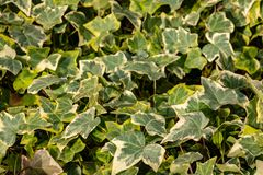 Close-up green ivy Hedera helix Goldchild carpet. Original texture of natural greenery. Background of elegant leaves. Nature concept for design. Selective stock photos