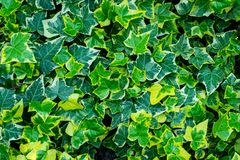 Close-up green ivy Hedera helix Goldchild carpet. Original texture of natural greenery. Background of elegant variegated leaves. Nature concept for design stock photo