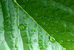 Close-up of green leaf. Drops of water on a green leaf Stock Photo