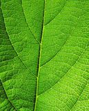 Close-up of green leaf Royalty Free Stock Photo