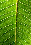 Close-up of green leaf Royalty Free Stock Images