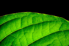 close up green leaf backlit by the sun Royalty Free Stock Photo