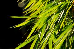 Green leaf of bamboo tree. Close up green leaf of bamboo tree Stock Photo