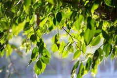 Close up green leaf banyan tree Royalty Free Stock Photography