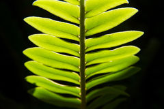 Close up green leaf with black background.natural background. Royalty Free Stock Image