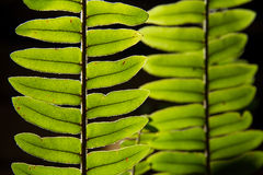Close up green leaf with black background.natural background. Stock Image
