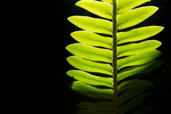 Close up green leaf with black background.natural background. Royalty Free Stock Images