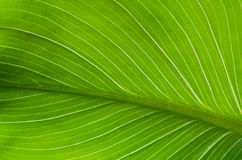 Close-up of green leaf calla flower Stock Photos