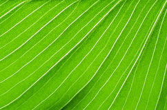 Close-up of green leaf calla flower Stock Images
