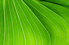 Close-up of green leaf calla flower Royalty Free Stock Photo