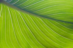 Close-up of green leaf calla flower Royalty Free Stock Photos