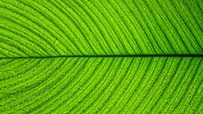 Close up of a green leaf with dark lines or veins. A close-up of a large bright green leaf with dark green lines or veins, all veins are almost equally arranged royalty free stock photos