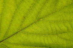 Close up Green leaf detail abstract texture background Royalty Free Stock Photography