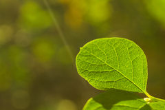 Close up of a green leaf. In a forest Royalty Free Stock Photos