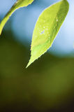 Close up of green leaf Royalty Free Stock Image