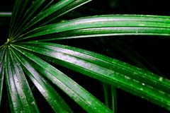 Close up green leaf of palm tree or coconut palm tree and selective focus. royalty free stock photography