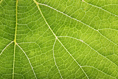 Close-up green leaf with pattern as background Royalty Free Stock Images