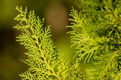 Green leaf of pine tree. Close up of Green leaf of Pine tree royalty free stock image