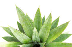 Close up green leaf of pineapple isolated on white Stock Image