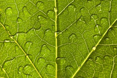 Close up of a green leaf with raindrops Stock Photos