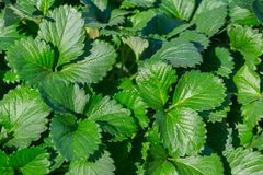 Close up green leaf Strawberry texture background. Stock Image