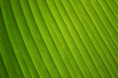 Close up Green leaf stripes line abstract nature background Royalty Free Stock Photography