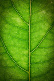 Close up of green leaf. Texture Royalty Free Stock Image
