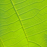 Close up of green leaf texture Royalty Free Stock Photos