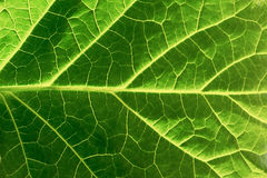 Close up of green leaf texture Royalty Free Stock Photo