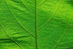Close up on green leaf texture Stock Images