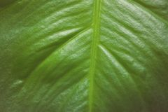 Close up of green leaf texture for background. Royalty Free Stock Photography