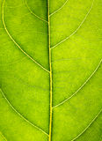 Close up on green leaf texture. Leaf veins macro view background Royalty Free Stock Photography