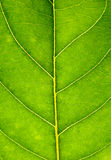 Close up on green leaf texture. Leaf veins macro view background Royalty Free Stock Images
