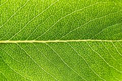 Close-up green leaf texture. Macro detail of fresh plant leaf with branching of veins and structure. Backlight. Abstract natural b. Ackground stock image