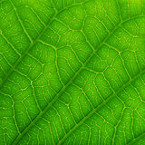 Close up on green leaf texture. nature texture. Royalty Free Stock Photo
