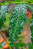 Close up green leaf and water drops. In thailand Stock Photography