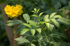 Close up of Green Leaf of Yellow elder flower. Or Trumpetflower, Scientific name isTecoma stans Stock Photos