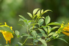 Close up of Green Leaf of Yellow elder flower. Or Trumpetflower, Scientific name isTecoma stans Stock Images