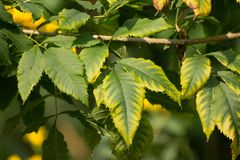 Close up of Green Leaf of Yellow elder flower. Or Trumpetflower, Scientific name isTecoma stans Royalty Free Stock Images