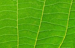 Close up of green leave Royalty Free Stock Photography
