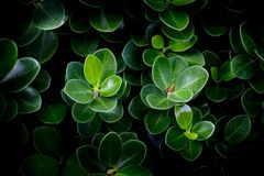 Close up of green leave. Black color background royalty free stock photo