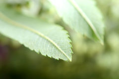 Close up of green leave Stock Photo